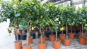 Zitronenbaum 150 cm Stamm Zitrone Citrus Limon Zitruspflanze