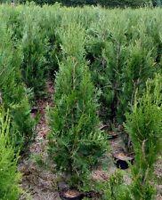 1 x Thuja Hedging Conifers Superior to Leylandii 125 - 150cm 4 - 5ft