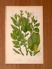 1860 ANTICA ORIG_CROMOLITO - A.PRATT- PIANTE_FIORI-T203
