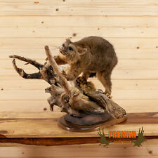 Premier Bushtail Opossum Full Body Mount Sw10608