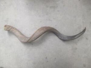 Kudu horn, natural finish, 85cm, vintage