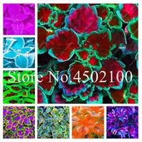 60 PCS Seeds Coleus Bonsai Begonia Blumei Rainbow Flowers Potted Garden Plants N