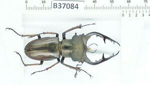 B37084 – Lucanus fujitai species? Beetles, insects YEN BAI vietnam 56mm