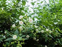 Nyctanthes arbor tristis Coral Jasmine Seeds Hummingbirds & Butterflies Love