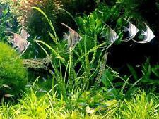Balansae x 3 - Live Aquarium Plant Fish( FREE Ship) INV