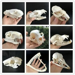 Taxidermy real Muskrat skull,Fox skull,Ostrich Skull ,Mink skull, animal Skull