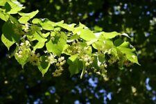 Linden tree (Tilia platyphyllos)   Lime Tree Finest 5-Seeds. UK Seller.