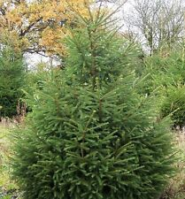 10 Norway Spruce Christmas Trees 40-60cm,Quick Growing  Evergreen Plants 1-2ft