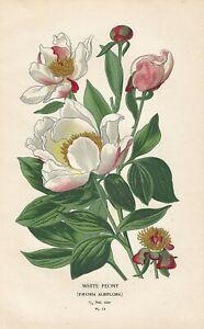 Stampa antica FIORI PEONIA BIANCA botanica Edward Step 1896 Antique print