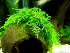 Christmas Moss 3 Packs (7x7 cm/pack) Free Shipping, Lowest Price, Larger Portion