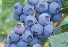 Delicious Giant Blueberry/50-Finest Seeds/Hardy variety/Jam & Conserve/UK Seller