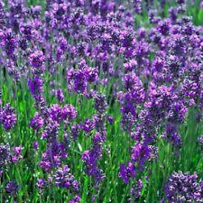 Herb Lavender Vera Lavandula - 800 seeds