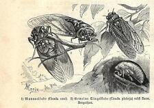 Stampa antica INSETTI CICALA Cicada orni INSECTA 1891 Old antique print