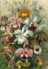 Art Forms in Nature: Ernst Haeckel -Orchids - Fine Art Canvas Print