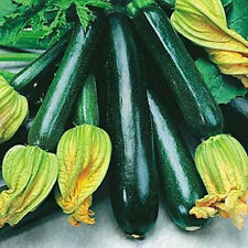 ZUCCHINI 'Black Beauty' 15 seeds ORGANIC vegetable garden easy BOONDIE SEEDS