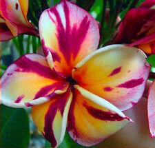 """Cutting of plumeria/Plants/"""" Suriya """" /10-12 inches"""