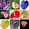 Seltene schöne Mischung 100 teile / beutel Anthurium Andraeanu Samen Blumen P1A0