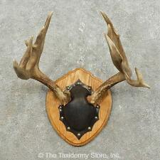 #15850 P | Whitetail Deer Antler Plaque Taxidermy Mount For Sale