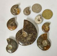 Large Cretaceous age AMMONITE FOSSIL COLLECTION From Madagascar Lot (#L3167)
