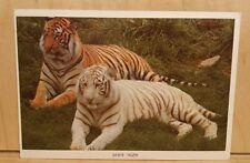W17) Postcard TWO TIGERS White Tiger India Rewa Forest ancestors wild cat