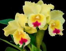 New listing Blc Goldenzelle 'Lemon Chiffon' Am/Aos orchid plant (167)