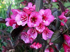 "Weigela florida ""Foliis Purpureus"" x 1 plant. Dwarf.  Ask for combined postage"