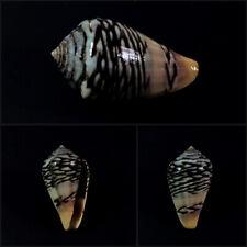 Conus, Lautoconus mercator, Almadies, Senegal, 32,1 mm, LARGE, LOVELY