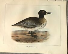 Bird Print Vintage, South American Black-headed Duck, US Naval Expedition, 1850