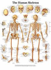 Cartel médico A3 – el esqueleto humano (libro de texto de anatomía imagen patología GP)