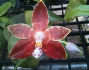 Phalaenopsis amboinensis var. flavida Orchidee - sehr CHARMANT !!! NEU !!