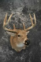 SKU 1725 Whitetail deer taxidermy shoulder mount Huge Mass Open Mouth