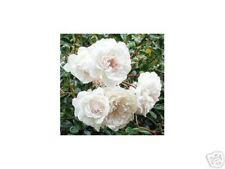 Rose Sea Foam weiß, überschäumend in der Blüte