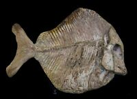 Fossil Fish Neoproscinetes sp.Spherical tooth fish Crato formation Brazil 31.5cm