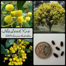30+ GOLDEN WATTLE SEEDS (Acacia pycnantha) Native Australian Fast Growing