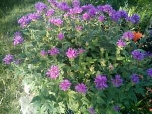 3 Monarda didyma BEE-BALM starter plants 6 to 10 inches