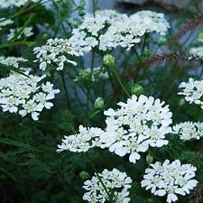 Orlaya Grandiflora - 20 Seeds - White Lace Flower
