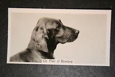 Irish Setter    1930's Champion   Vintage Photo Card  VGC