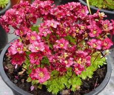 Saxifraga x arendsii 'Harder Zwerg' Red X 6 Plug Plants Hardy Rockery Perennial