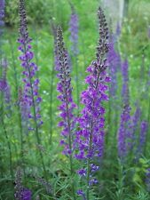 PURPLE TOADFLAX HARDY ANNUAL SPECIES EXCELLENT BEE PLANT 200+  FRESH SEEDS