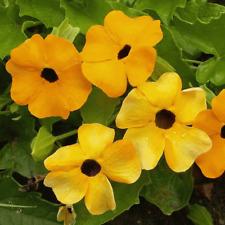 1/4 Lb Black Eyed Susan Vine Wildflower Seeds - Everwilde Farms Mylar Packet