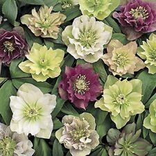 Hardy Hellebore Double Ruffled Flowers Winter Flowering Garden Evergreen Plants