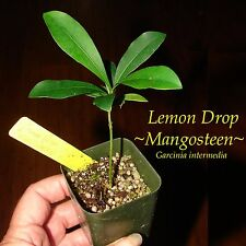 ~LEMON DROP MANGOSTEEN~ Garcinia intermedia YELLOW FRUIT Pot Starter Small Plant