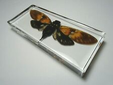 AMBRAGAEANA AMBRA CICADA. Real insect immortalized in clear casting resin.
