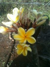 Plumeria 8-12 Inch Cutting Rare (Maui Yolk) Beautiful Site And Smell