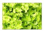 Salad Bowl Lettuce Seeds | NON-GMO | Heirloom | Fresh Garden Seeds