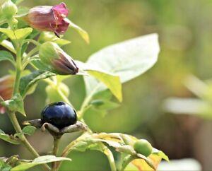 Atropa belladonna 50+ Seeds - Deadly Nightshade