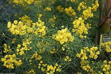 100% Naturreines Ätherisches CASSIAÖL,KASSIA,QUASSIA,(Cinnamomum aromat.),10ml