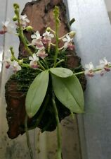 Phalaenopsis parishii SPECIES ORCHID plant - mounted,Fragrant