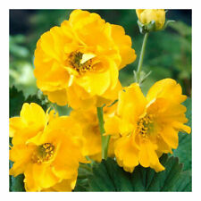 100 GEUM AVENS LADY STRATHEDEN SEEDS - DOUBLE YELLOW FLOWERS - PERENNIAL SEEDS