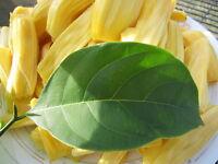 """30"""" Tall Jackfruit Tropical Flower Fruit Tree Plant Artocarpus Heterophyllus"""